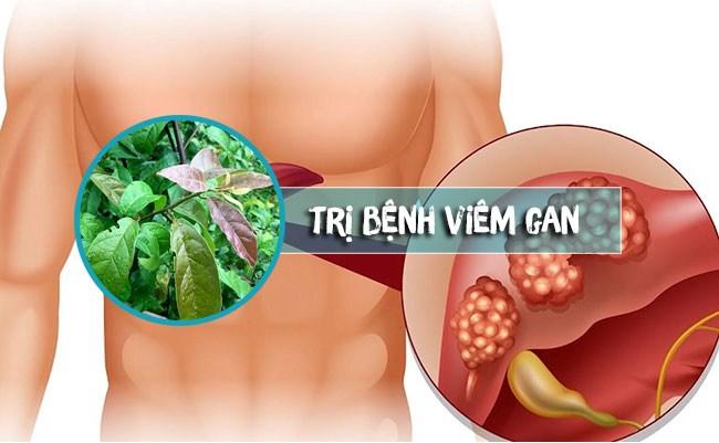 Tác dụng của cây xạ đen điều trị viêm gan