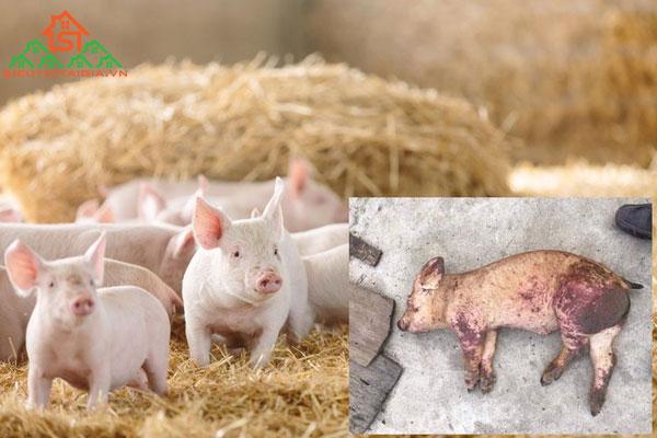 Dịch tả lợn Châu Phi