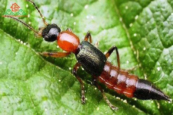 kiến ba khoang cắn bôi gì