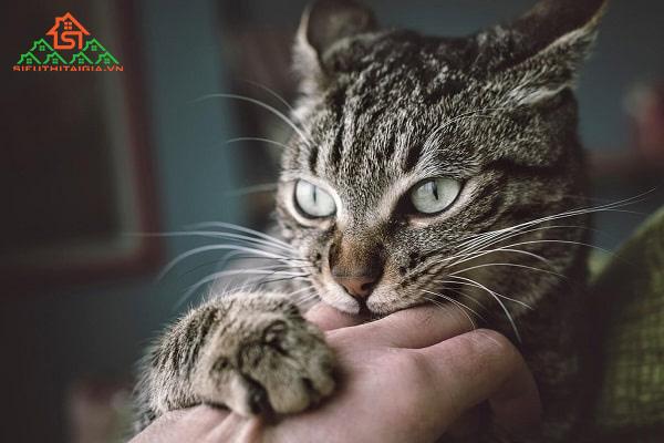 mèo cào có bị dại không