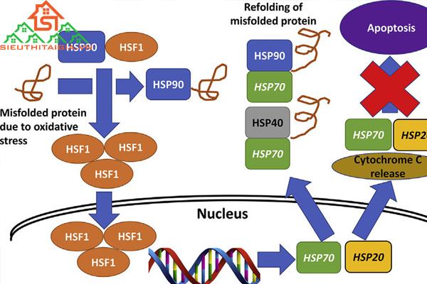 Protein sốc nhiệt là gì? Tác dụng của protein sốc nhiệt