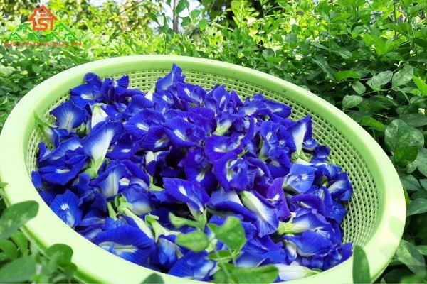 hoa đậu biếc chữa bệnh gì